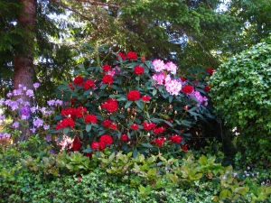 Rhodies in bloom are spectacular such as these––'Windsor Lad,' 'Leo,' and 'Pink Walloper' in my yard.