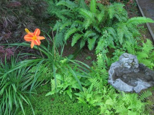 The east side of the house in semi-shade is where ferns thrive and this lovely daylily, which the deer haven't spotted yet.