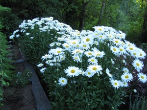 These Shasta daisies have thrived––partly because the deer leave them alone.