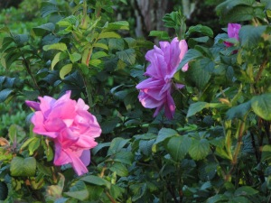 I replaced all my hybrid roses with the hardier Rugosas back in 2001. The deer were eating the roses thorns and all. They will nibble on Rugosa new growth but not devastate the whole plant.