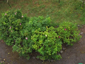 Looking down on my rugosa bramble from my upper deck.