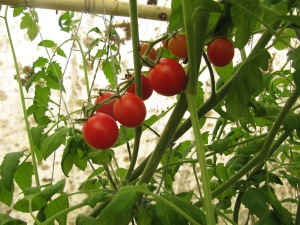 Cherry tomatoes have been ripening the past couple of weeks, but now . . .