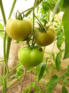 Notice the slight reddening of the top two larger non-cherry tomatoes. Can hardly wait!