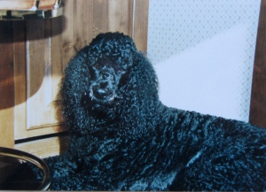 Asa my Standard Poodle was a big dog. He always reminded me of prancing on stilts.