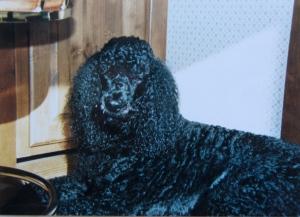 Asa my Standard Poodle was a big dog. He always reminded me of prancing on stilts.