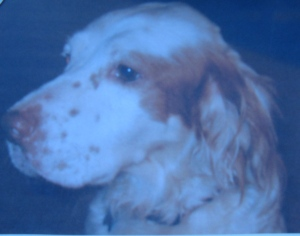 This photo looks just like Pepper, the English setter we had.