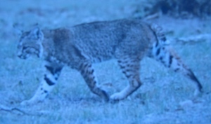This bobcat looks a lot like the cat in my story of Devil Cat.
