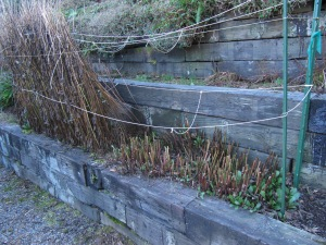Shastas in winter––half pruned. Notice new green plants just getting started.