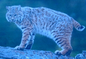 This bobcat looks a whole lot like Devil Cat.
