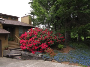 Rhodies are spectacular in bloom, but require many hours of work to deadhead, prune, and cleanup around, to keep them the size you want.