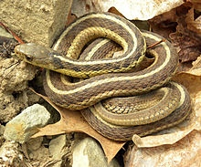 A garter snake similar to this one only stretched out to its full 30 inches and trying to go through plastic netting that did not give.