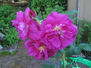 The rugosa roses are still blooming and some have rose hips enlarging and turning shades of orange and red.