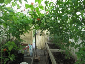 The greenhouse is a bit of a jumble, but there are lots of tomatoes turning red now and I love it.