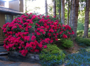 The red 'Jean Marie'(actually three bushes) in front of the house with the blue lithadora ground cover.