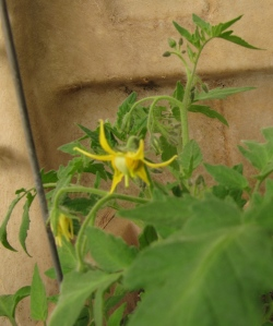 First tomato since this morning on 'Oregon Spting.'