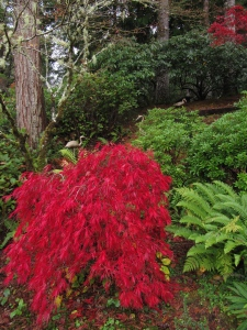 My split leaf maple turned a beautiful crimson while I was gone. I will enjoy it every day while it lasts.