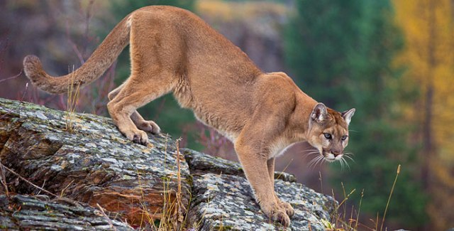 MountainLion_Cover_CourtesyUSFS_688x344-1.jpg
